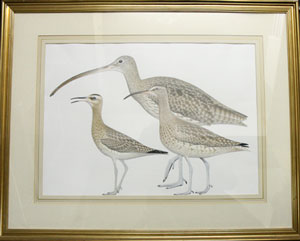 Curlews and Whimbrel. Jeff Davies.