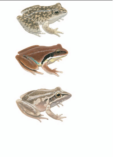 Booroolong Frog; Green-thighed Frog; Freycinet's Frog [plate 18]. Frank Knight.