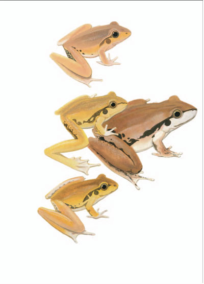 Lesueur's Frog; Wilcox's Frog; Jungguy Frog [plate 21]. Frank Knight.