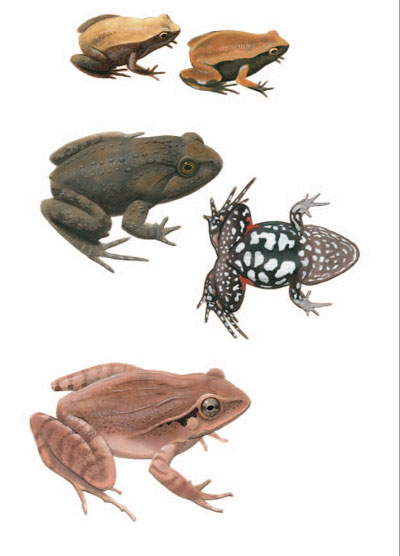 Marsupial Frog; Tusked Frog; Fletcher's Frog [plate 26]. Frank Knight.