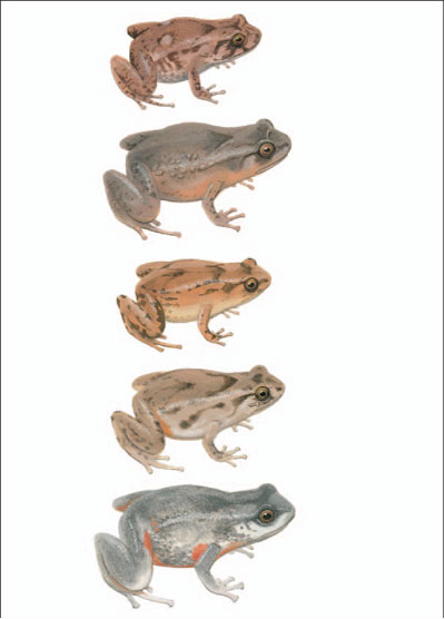 Buzzing Frog; Tapping Nursery Frog; Rattling Frog; Scanty Frog; Elegant Frog [plate 44]. Frank Knight.