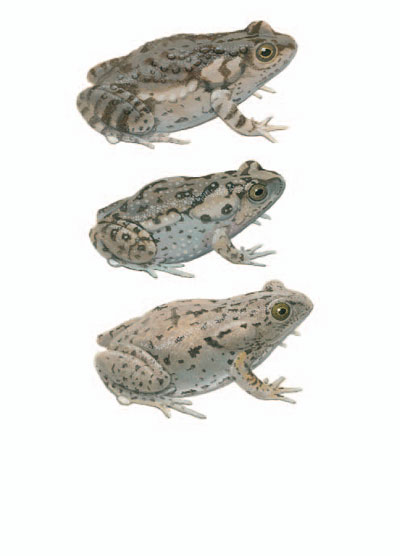 Mimicking Toadlet; Elevated Toadlet; Dusky Toadlet [plate 62]. Frank Knight.