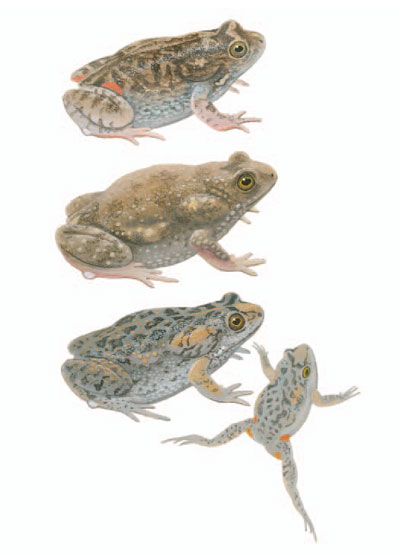 Wrinkled Toadlet; Small-headed Toadlet; Smooth Toadlet [plate 64. Frank Knight.