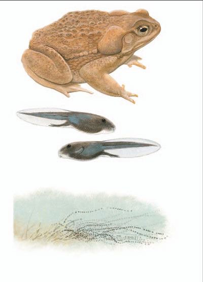 Cane Toad [plate 69]. Frank Knight.