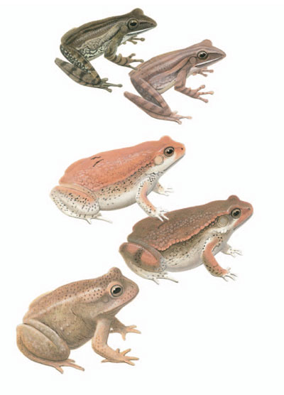 Common Tree Frog; Red Toad; Indus Valley Toad [plate 70]. Frank Knight.
