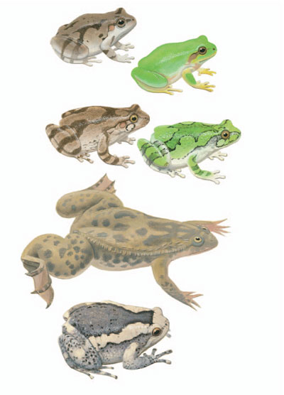 Japanese Tree Frog; Common Grey Tree Frog; Clawed Frog; Banded Bullfrog [plate 72]. Frank Knight.