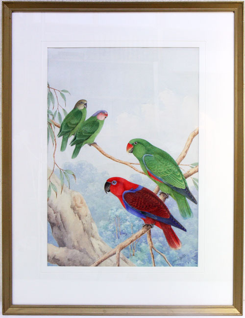 Eclectus Parrot and Red-cheeked Parrot. Neville W. Cayley.