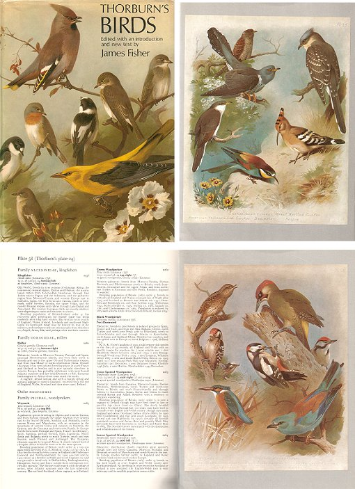 Thorburn's birds. James Fisher.