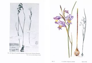 Gladiolus: a revision of the South African species.
