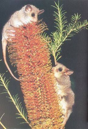 A key and field guide to the possums, gliders and Koala.