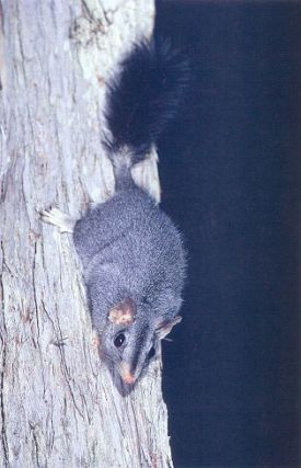 A field guide to the rodents and dasyurids of the Northern Territory.