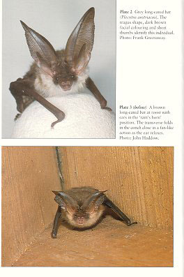 Long-eared bats.