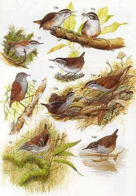 Wrens, dippers and thrashers.