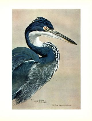 Louis Agassiz Fuertes and the singular beauty of birds. Paintings, drawings, letters assembled and edited by Frederick George Marcham
