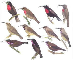 The birds of Africa, Volume six: Picathartes to Oxpeckers.