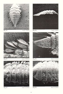 Guide to the identification of Australian Elmidae larvae (Insecta: Coleoptera).