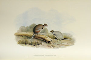 A monograph of the Macropodidae, or family of kangaroos [facsimile].