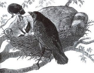 The American Crow and the Common Raven. Lawrence Kilham.