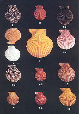Guidebook to Pecten shells: recent Pectinidae and Propeamussiidae of the world.