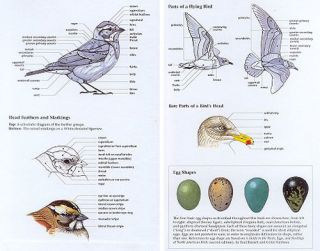 The Sibley guide to bird life and behaviour.