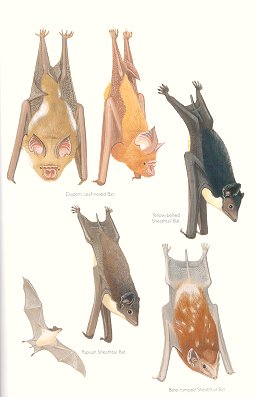 Diadem Leaf-nosed Bat, Yellow-bellied Sheathtail Bat, Papuan Sheathtail Bat and Bare-rumped Sheathtail Bat (Plate 52). Frank Knight.