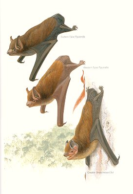 Eastern False Pipistrelle, Western False Pipistrelle and Greater Broad-nosed Bat (plate 61). Frank Knight.