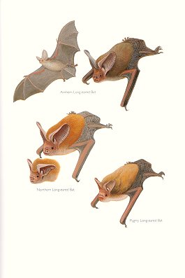 Arnhem Long-eared Bat, Northern Long-eared Bat and Pygmy Long-eared Bat (plate 63). Frank Knight.