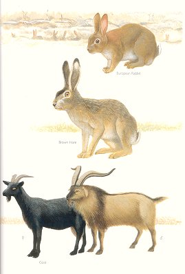 European Rabbit, Brown Hare and Goat (plate 83). Frank Knight.
