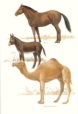 Horse, Donkey and One-humped Camel (plate 84). Frank Knight.