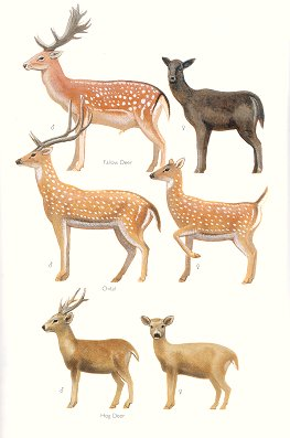 Fallow Deer, Chital and Hog Deer (plate 87). Frank Knight.