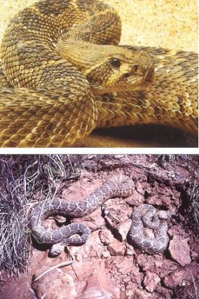 Tales from the golden age of rattlesnake hunting. Donald G. Wheeler