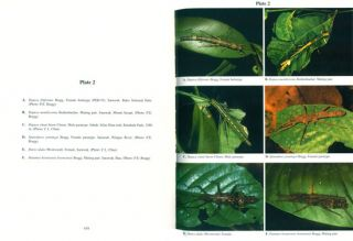 Phasmids of Borneo.