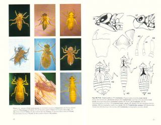 Preliminary keys for the identification of larvae of the Australian Synthemistidae,...