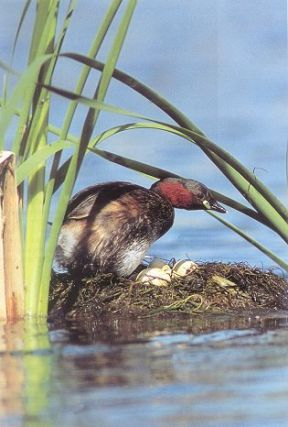 Grebes of our world: visiting all species on 5 continents. Andre Konter