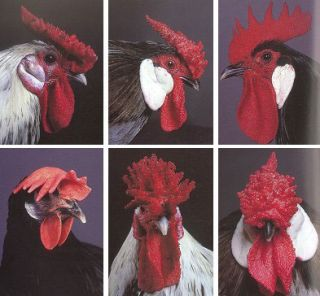 Extraordinary Chickens.
