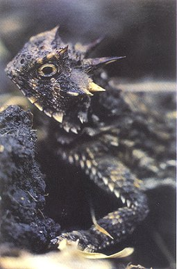 Horned lizards: the book of horny toads. Jane Manaster