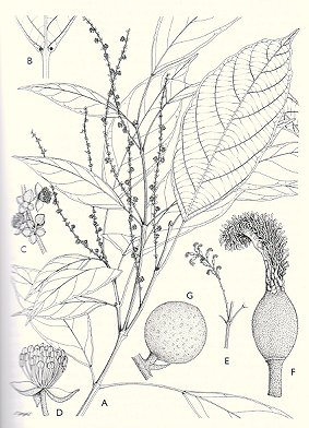 Genera Euphorbiacearum. Alan Radcliffe-Smith