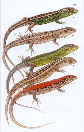 Field guide to the reptiles and amphibians of Britain and Europe.
