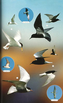 Birds of the Mediterranean: a photographic guide.