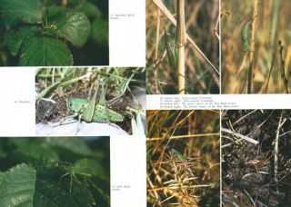 Grasshoppers and bush-crickets of the British Isles.