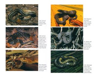 Florida's snakes: a guide to their identification.