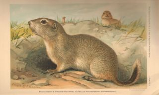 Revision of the North American ground squirrels.