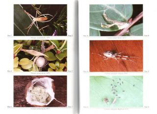 Spiders of Australia: an introduction to their classification, biology and distribution.
