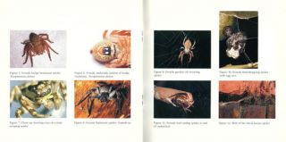 Spiders commonly found in Melbourne and surrounding regions.