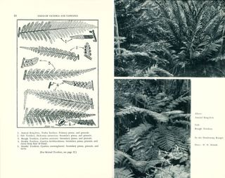 Ferns of Victoria and Tasmania: with descriptive notes and illustrations of the 119 native species.