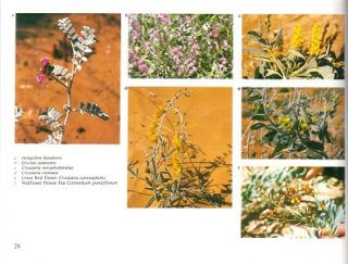 The flowers of central Australia.
