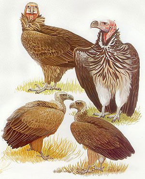 The birds of Africa, Volume one: Ostrich to falcons.