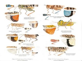 Field guide to grasshoppers, katydids, and crickets of the United States.