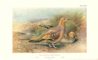 The game-birds of India, Burma and Ceylon: snipe, bustards and sand-grouse, volume two.
