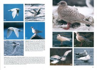 Gulls of Europe, Asia and North America.